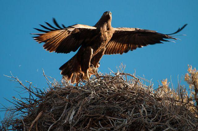 Aguila Real, subespecie o casta (raza) Aquila chrysaetos, desde Siberia a Nprte de España y viceversa.