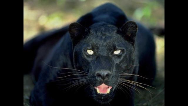 Pantera negra con ojos de Cielo